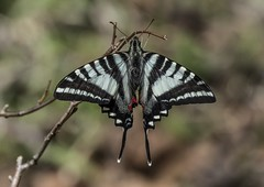 A Spring Zebra Swallowtail From The Top