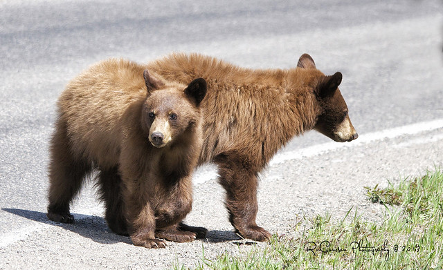 Cinnamon Cubs in Yellowstone