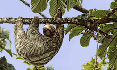 animal, sloth, branch, tree, fauna, wildlife,