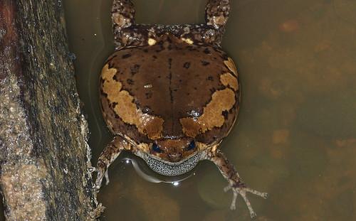 身體鼓的大大的花狹口蛙,圖片來源:http://www.flickr.com/photos/berniedup/8681015358/,圖片作者:Bernard DUPONT,本圖片符合CC授權使用。