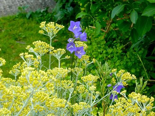 Blue between yellow flowers width=