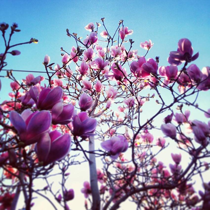 magnolia-blossoms-melbourne