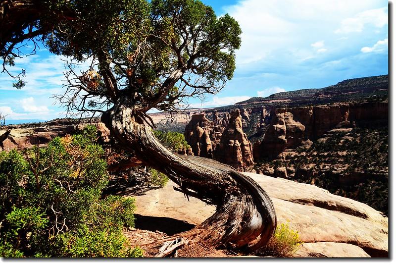 Juniper at Canyon Rim Trail 4