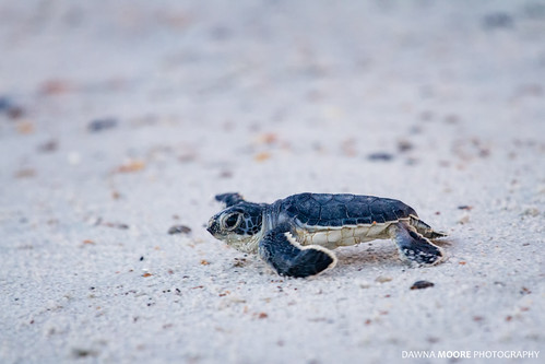 Baby Green Sea Turtle, Amelia Island, Florida