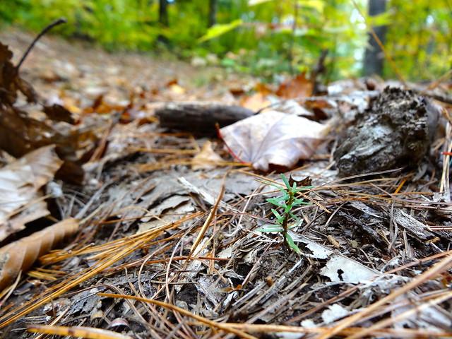 tiny white pine