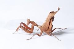 Mantis looks like dead leaf