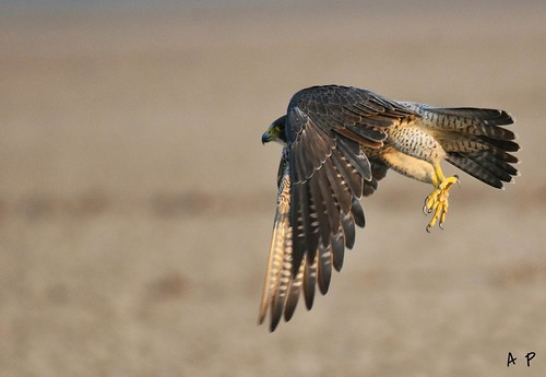 PEREGRiNE FALCON flight