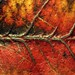 autumnal colour leaf veins by neeravbhatt