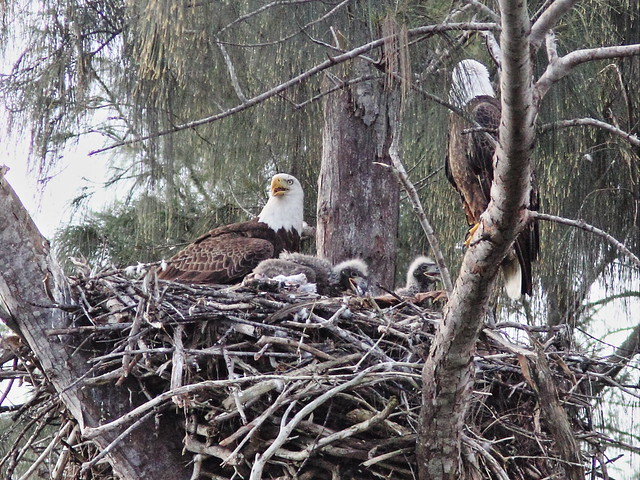 Bald Eaglets beg from male parent 20140205