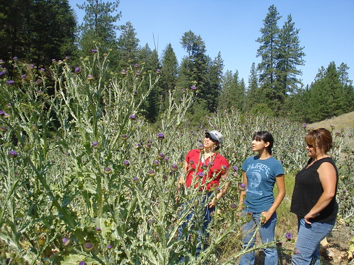 FRTEP extension agents and a Colville Confederated Tribe representative in Washington State with invasive Scotch thistle. Infestations of this noxious weed can reduce forage production and land use by livestock. Photo by Daniel Fagerlie, Washington State University Extension Tribal Relations Liaison Regional Specialist and Project Director of APHIS PPQ