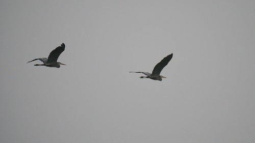 Migrating Great Blue Herons