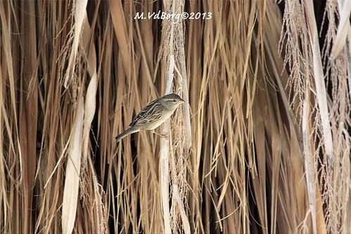 """Moineau domestique / House Sparrow / Gorriones domesticos  - """"Passer domesticus"""""""