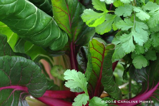 chard and cilantro