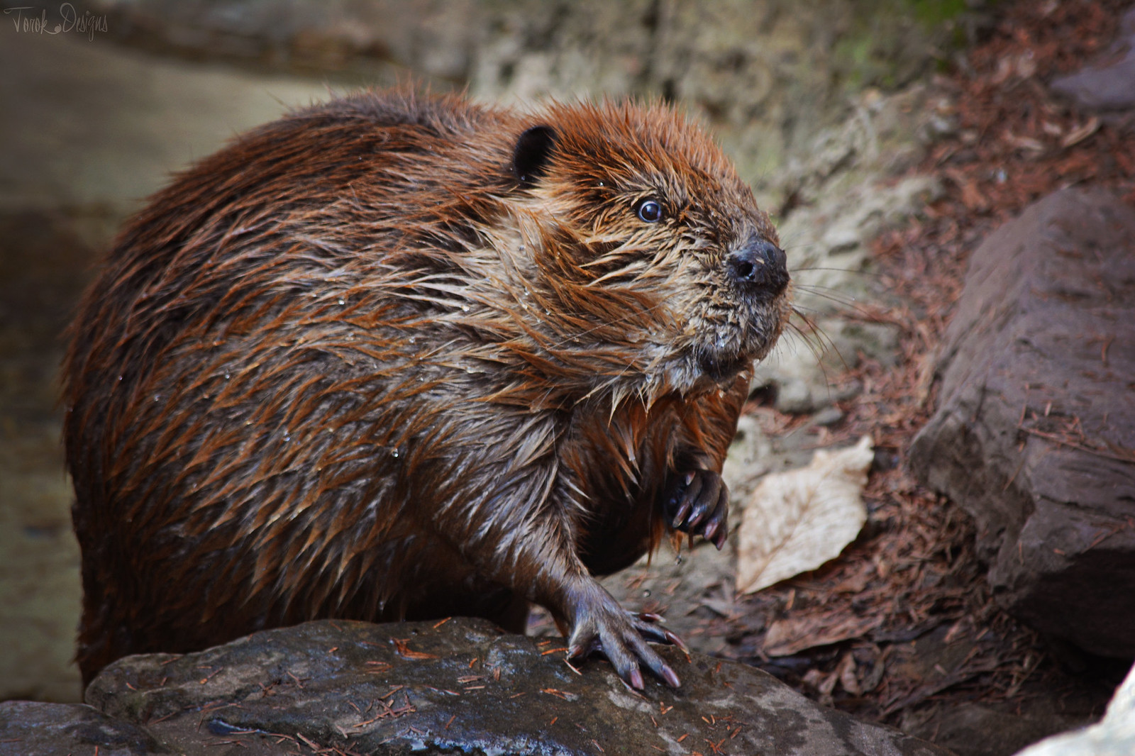 That Beaver
