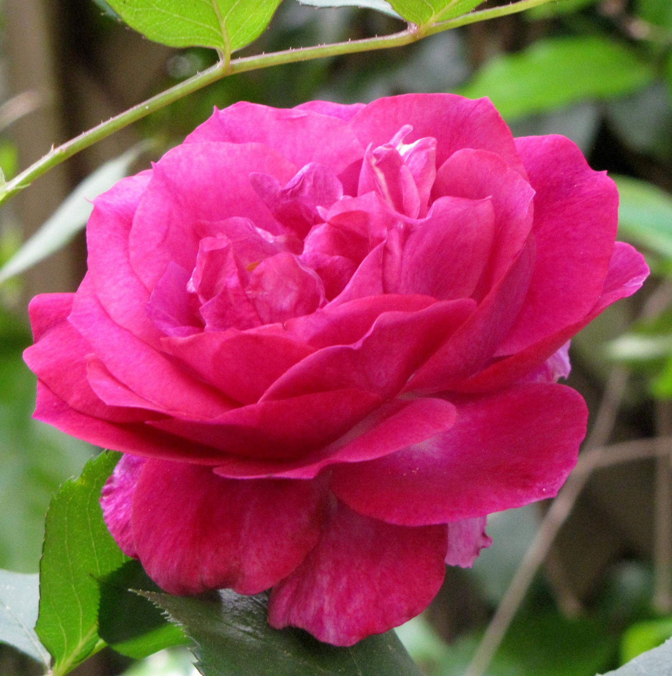 Wild Blue Yonder Rose