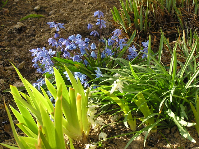 Spring bulbs & bearded iris