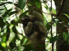 monkey(0.0), primate(0.0), ape(0.0), animal(1.0), rainforest(1.0), three toed sloth(1.0), branch(1.0), mammal(1.0), fauna(1.0), jungle(1.0), wildlife(1.0),