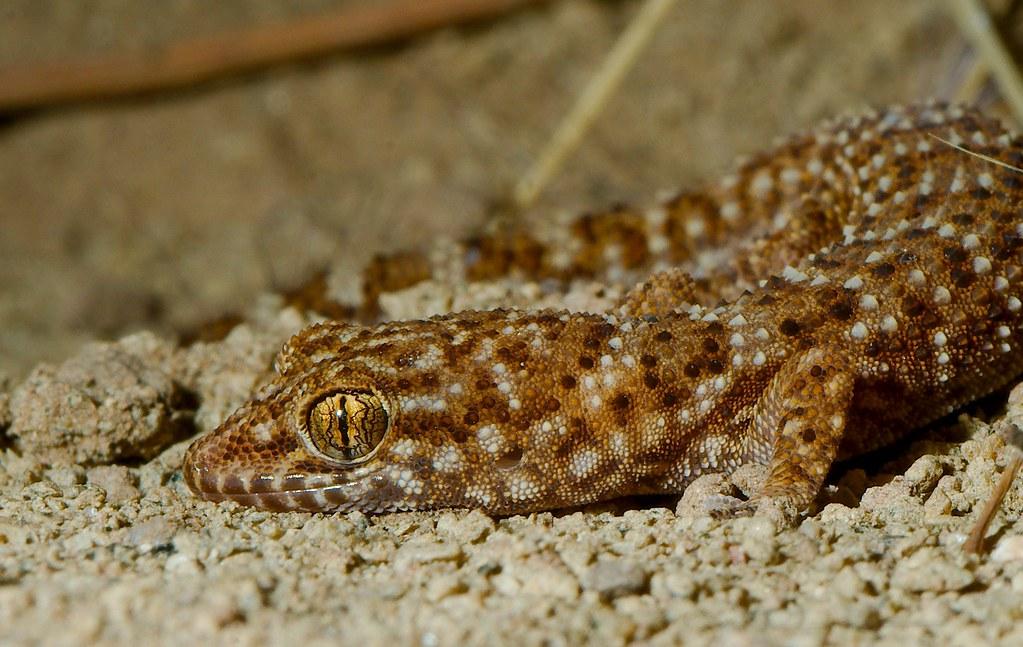 Prickly Gecko (Heteronotia binoei)_1