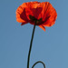 Small photo of Red poppy