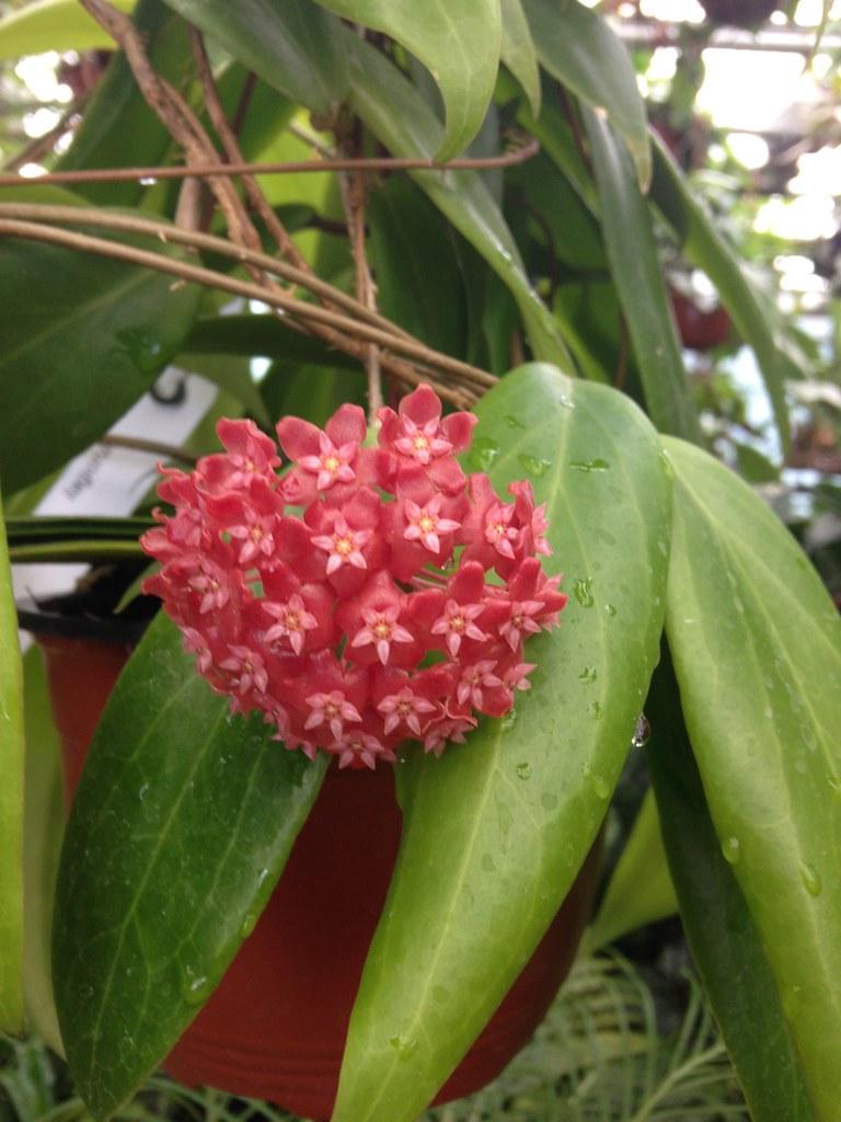 Orchidarium de Prangins 18686623733_17264799ec_b
