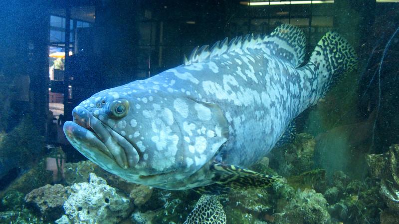 Grouper in aquarium