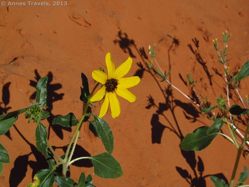 A flower along the overland trail near the top of Spooky Slot, Dry Fork Slots, Grand Staircase-Escalante, Utah