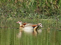 May 27 - 20 Two-headed Egyptian Goose