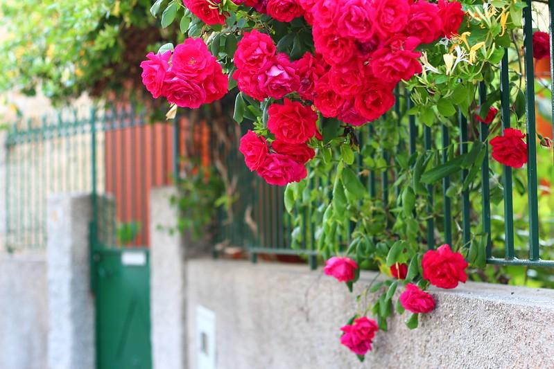 sao rosas