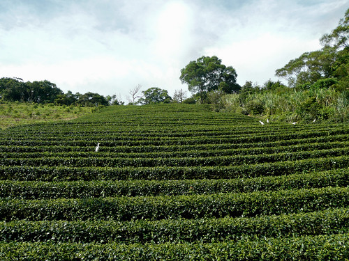 Tea Fields  at the top of Road 9 to Pinglin (坪林)