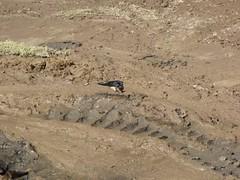 raccolta di fango