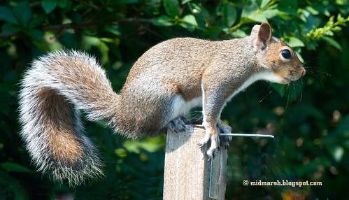 IMG_6323 Squirrel