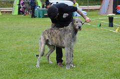 hound(0.0), whippet(0.0), greyhound(0.0), dog sports(1.0), animal sports(1.0), animal(1.0), silken windhound(1.0), dog(1.0), sighthound(1.0), scottish deerhound(1.0), sports(1.0), pet(1.0), mammal(1.0), lurcher(1.0), irish wolfhound(1.0), conformation show(1.0),