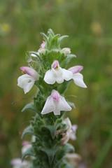Orobanchaceae