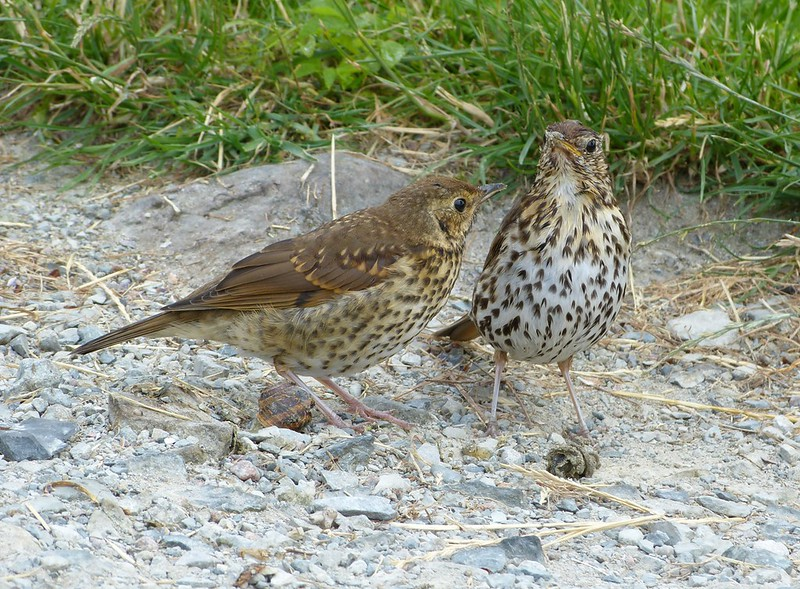 P1050552 - Song Thrushes, Isle of Mull