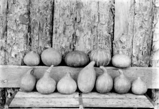 Pumpkins grown by Wild Cat, a Florida Seminole