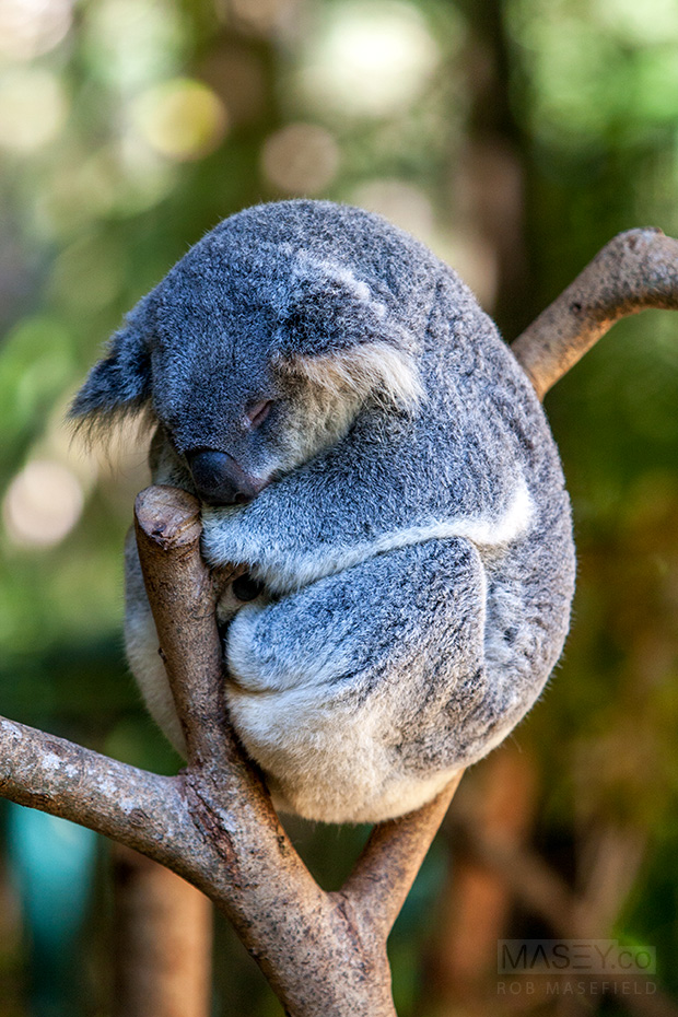 I can't for the life of me work out how Koalas ever sleep comfortably.