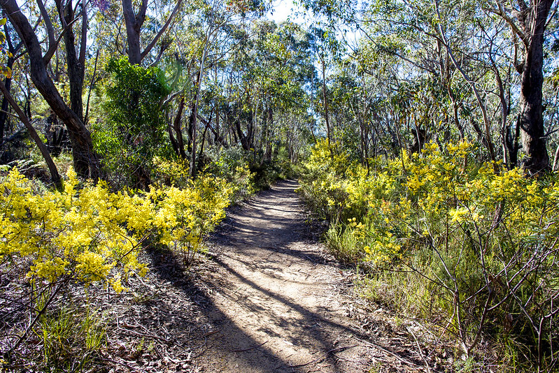 Grand Canyon Loop, Blue Mountains wattle