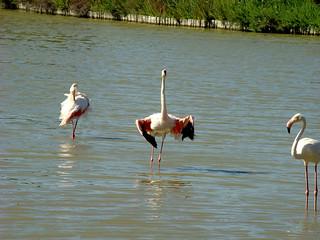 155 flamingo's