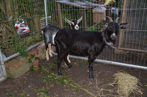 goats Sept 13 2