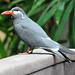 Small photo of Inca tern (Larosterna inca)