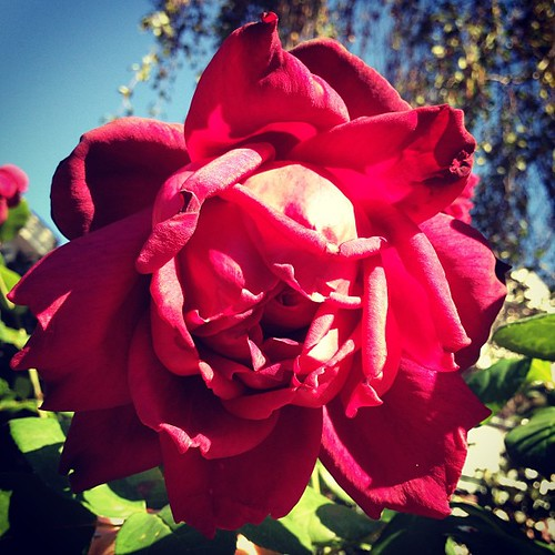 The roses here are bonkers. This one smelled like blackcurrant wine & spiderwebs.
