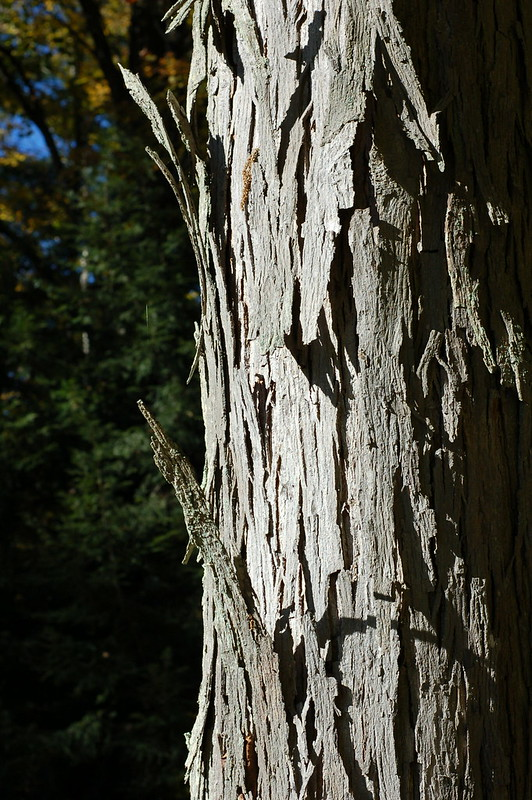 Peeling Shagbark hickory tree by Eve Fox, the Garden of Eating blog, copyright 2013