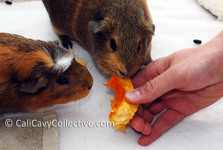 Guinea pigs Belka and Truffle eat pumpkin