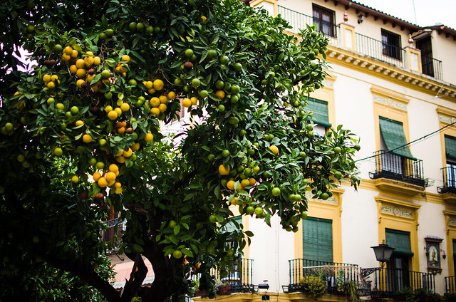 Orange trees line the streets of Sevilla, but don't try to eat them or you'll get an unpleasant surprise. They're bitter, used for British marmalade.