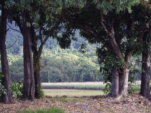 Mossman. Giant mango trees and sugar cane fields.
