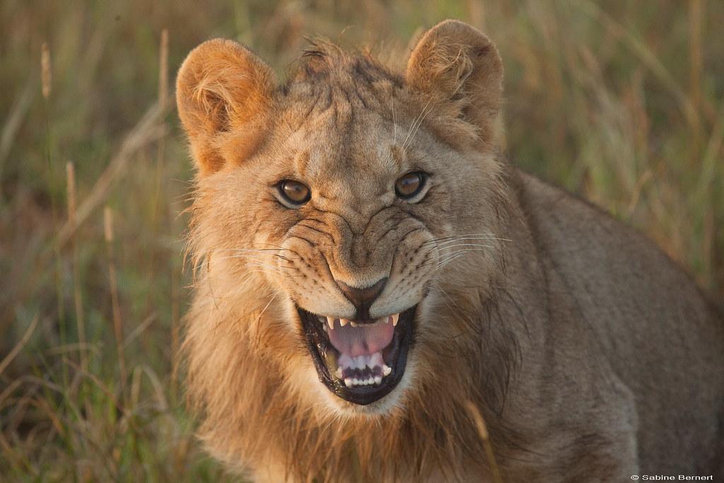 Jeune Lion en Afrique