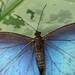 Blue Morpho by Rene Mensen