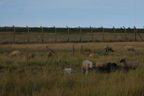 以綿羊控制草的高度,林育朱攝影