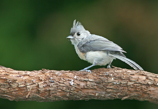 Tufted Titmouse_7770