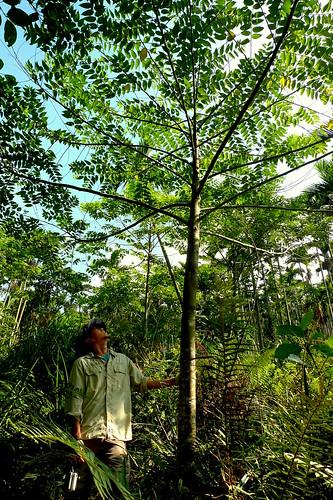 自然落種的山黃麻,是森林中的先鋒喬木。不到三年就可以長超過三個人高,地球公民基金會提供